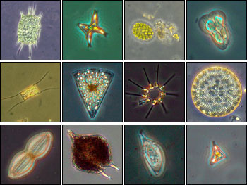 http://zonaikan.files.wordpress.com/2009/12/phytoplankton.jpg