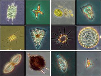 http://zonaikan.files.wordpress.com/2009/12/phytoplankton.jpg