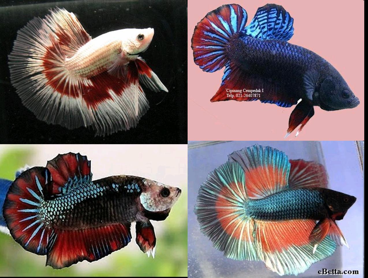 Ikan Cupang Mengeluarkan Gelembung