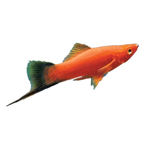 Ikan Pedang