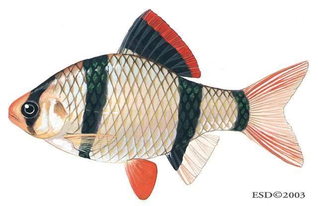 Cara Membedakan Ikan Komet Jantan Dan Betina Tips Membedakan