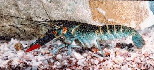 Jenis Jenis Lobster Air Tawar Zona Ik N