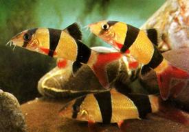 Variasi Jenis Ikan Botia Zona Ik N