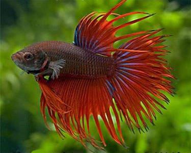 7200 Gambar Ikan Cupang Lokal Terbaik