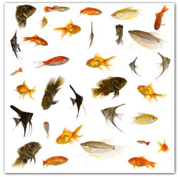 Teknologi Budidaya Ikan Hias Zona Ik N
